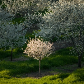 Cherry Blossoms by Traverse City Photographer Thomas Kachadurian