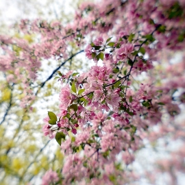 Plum blossoms by Traverse City Photographer Thomas Kachadurian