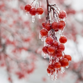 Cherries in Ice by Traverse City Photographer Thomas Kachadurian