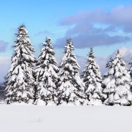 Snowy Pines by Traverse City Photographer Thomas Kachadurian
