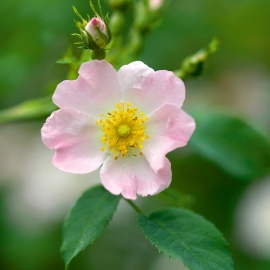 wild rose by Traverse City Photographer Thomas Kachadurian